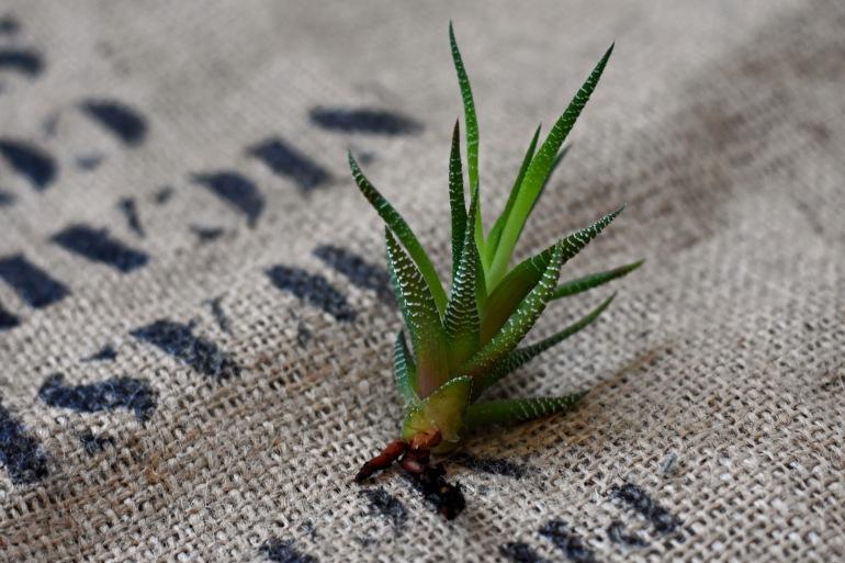 Nachhaltiger Urban Jungle, Ableger selbst ziehen, Urban Jungle, Zimmerpflanzen, nachhaltige Pflanzen